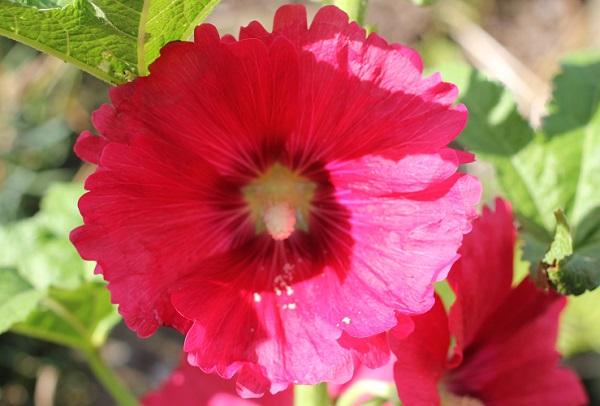 タチアオイ(葵)の花のアップ写真(全体)