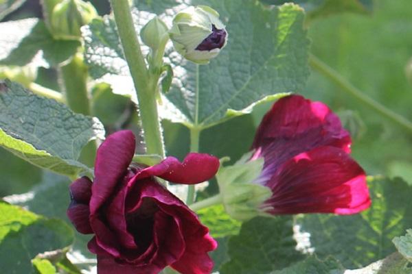 タチアオイ(葵)の蕾と咲き始めの写真