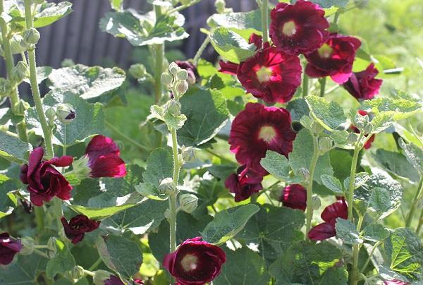 タチアオイ(ホリホック)の花と葉の写真