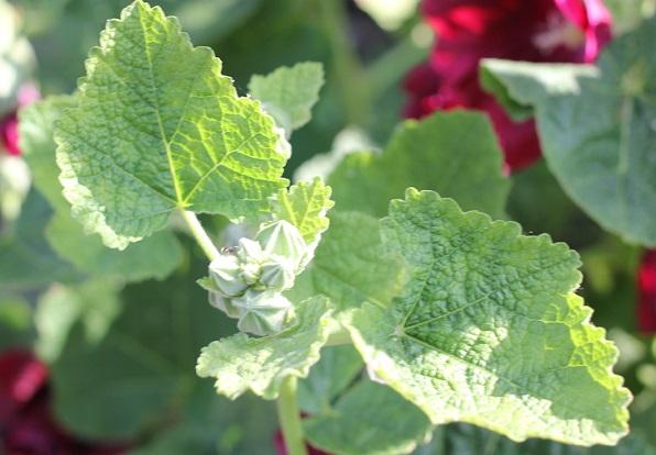タチアオイ(葵)の葉の写真