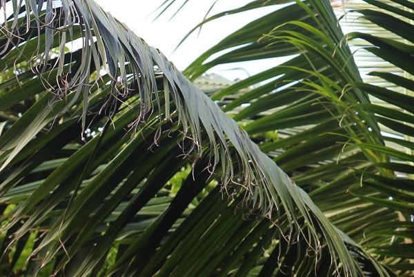 ヤエヤマヤシの葉の様子の写真