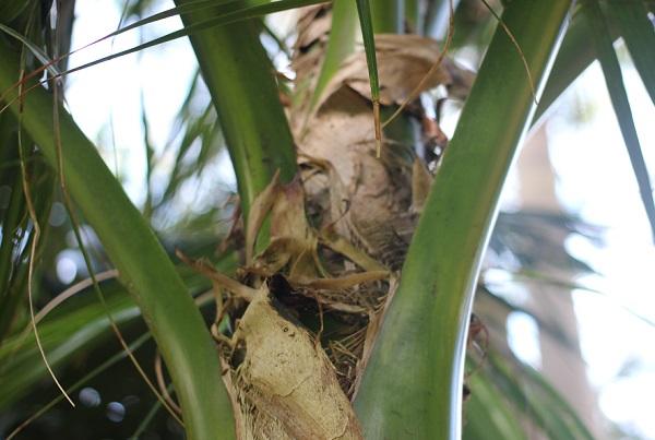 ヤエヤマヤシ、葉の付け根の写真