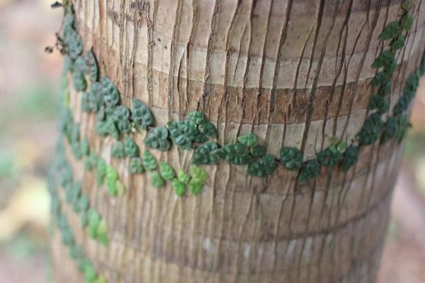 綺麗なヤエヤマヤシの幹と張り付いてる植物の写真