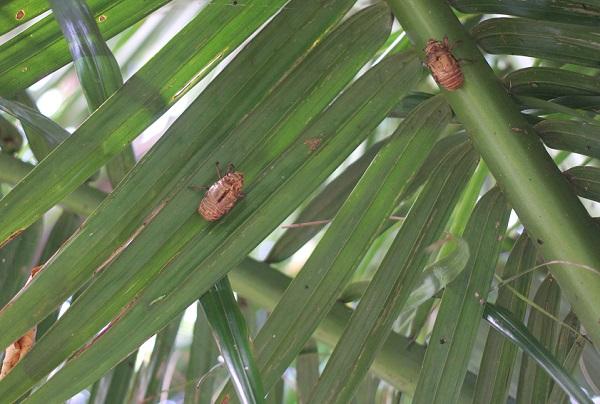 ヤエヤマヤシの葉にセミの抜け殻がある写真