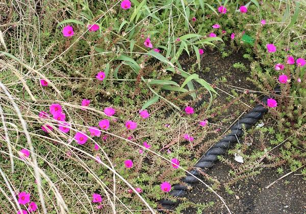 公園で咲いているポーチュカラピンキーの写真