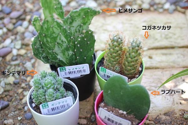 キャンドゥで購入した植物、ヒメサン,ゴ ギンデマリ, コガネツカサ ,ラブハートの写真