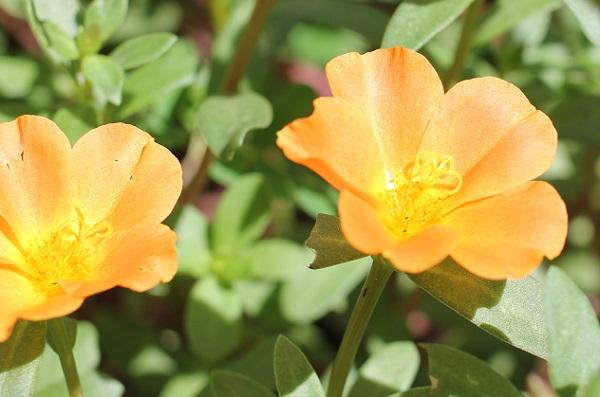 庭に咲いてるオレンジ色のポーチュラカの写真
