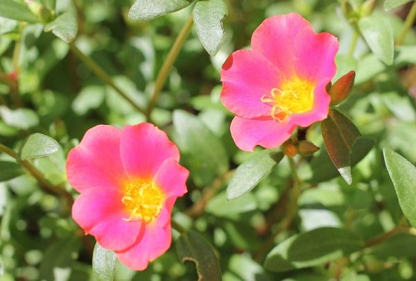 庭に咲いてる濃いピンクのポーチュラカの写真