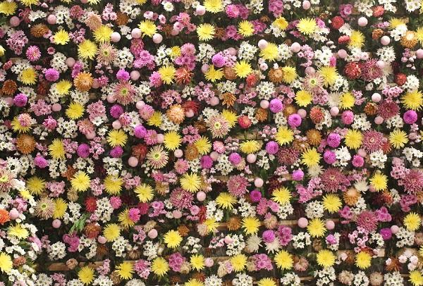 壁一面を彩るダリアの写真