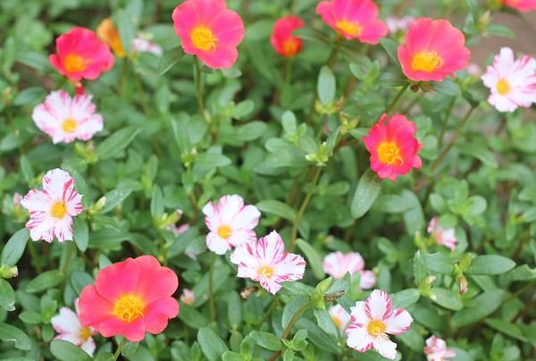 庭に咲いてるポーチュラカの写真