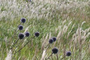 草原に咲いてるヒコダイの花の写真