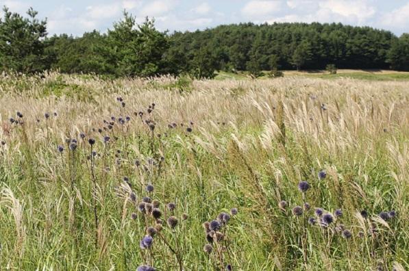 タデ原湿原のススキとヒゴタイの花の写真