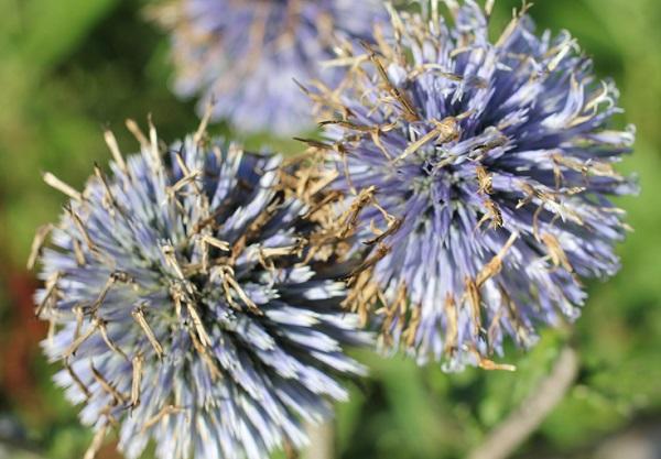 ヒゴタイの花から種がたくさん出てる様子の写真