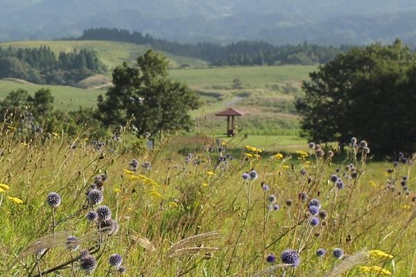 ヒコダイ公園の草原に咲くヒゴタイやオミナエの写真