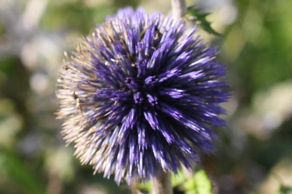 ヒゴタイの花のアップ写真、紫の部分と茶色の部分がある