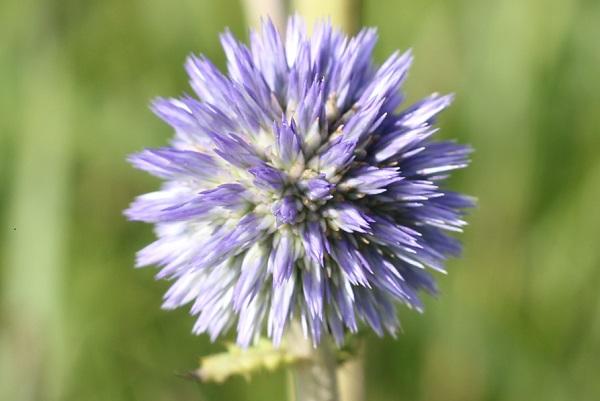 蕾が膨らんだ薄紫のヒゴタイ、アップ写真