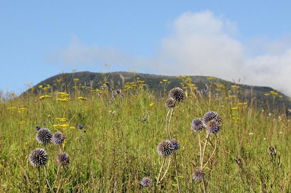 ヒコダイ公園に咲いてるヒゴタイの花の写真