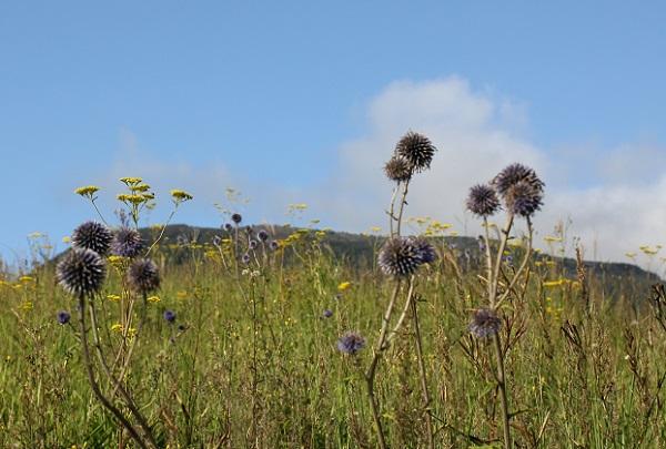 ヒコダイ公園の草原に咲いてるヒゴタイの写真