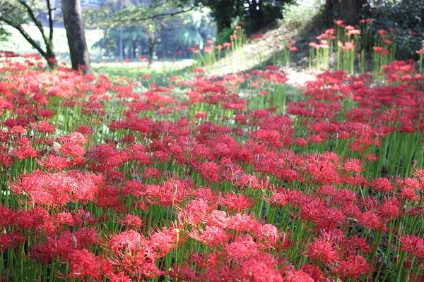 七つ森古墳群、絨毯のように広がる真っ赤な彼岸花の様子の写真