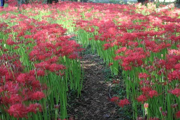 七つ森古墳群の彼岸花畑と小径の写真