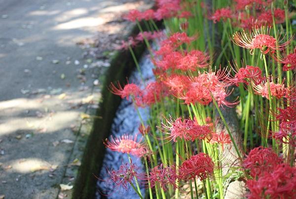 小さな水路の脇に咲くたくさんの彼岸花の写真