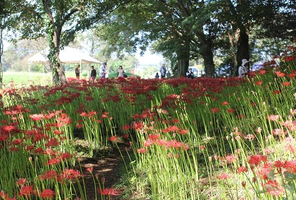 七つ森古墳群の彼岸花と大きな木、花見をしている人々の様子ののどかな景色の写真