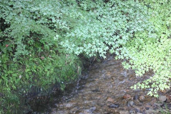 綺麗な小さな川とモミジの写真