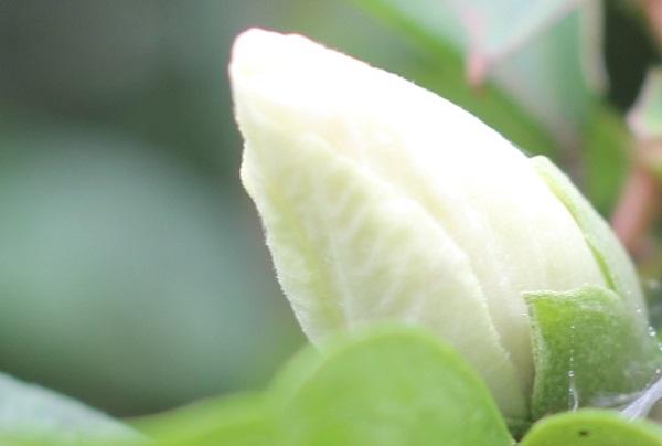 ムクゲ(槿 木槿)の蕾のアップ写真