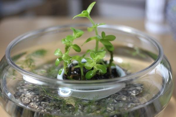 ウォーターバコバを植えたステキな小さな水槽の写真