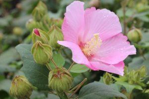 美しいピンクの芙蓉(フヨウ)花や蕾、葉のようすの写真