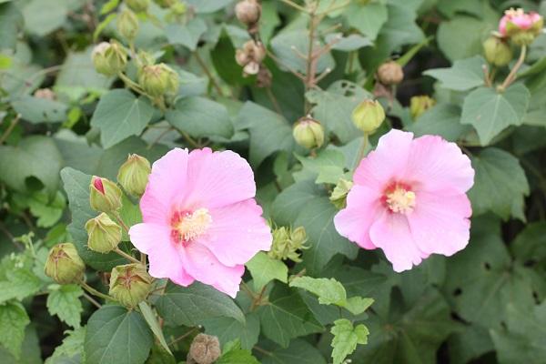 公園に咲いている芙蓉(フヨウ)の写真