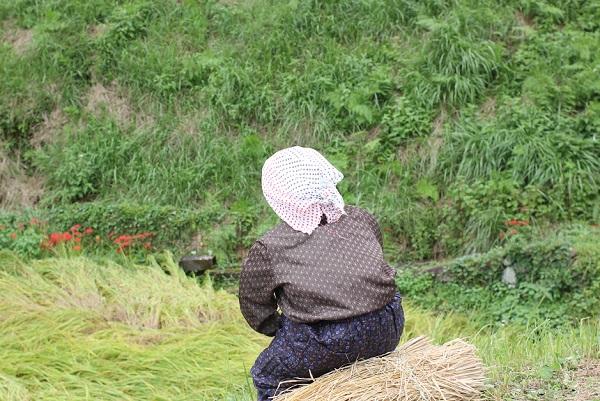 鬼木の棚田の案山子、座ってイネを眺めてるおばあちゃんの案山子の写真