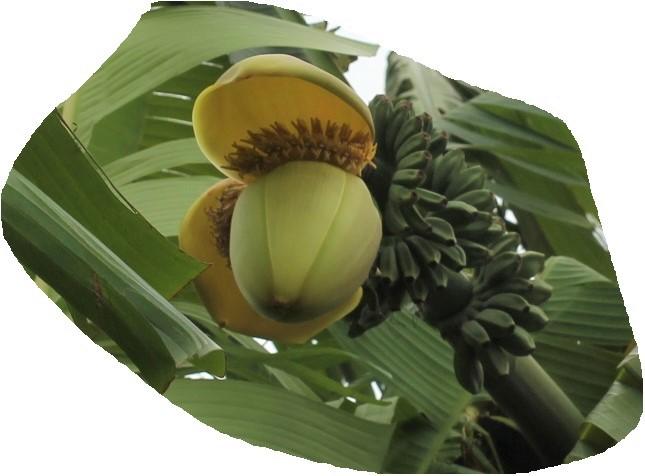 見かけたバショウ(芭蕉)の花と実の写真