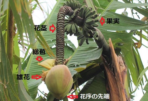 バショウの木、花序の様子、雄花、総苞、花茎、果実の写真