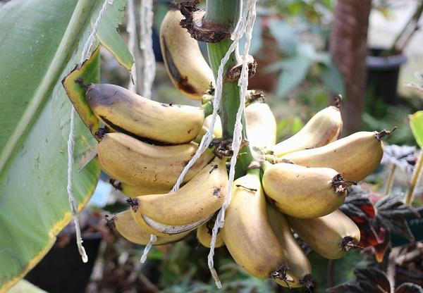 温室で見かけたバナナの木、実