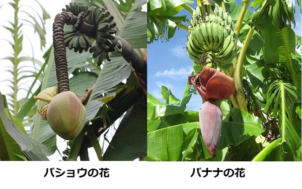 バショウの花とバナナの花の比較写真