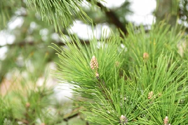 松林の松の葉の写真