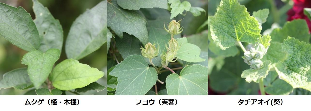 ムクゲ(槿 木槿)・フヨウ(芙蓉)・タチアオイ(葵)の葉の写真(比較)