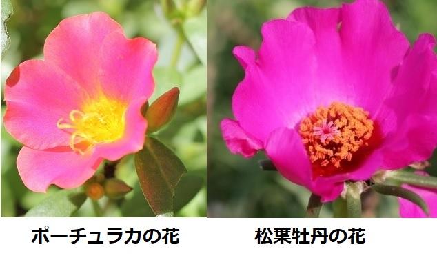 ピンクのポーチュラカの花のアップ写真とピンクの松葉牡丹花のアップ写真、比較写真