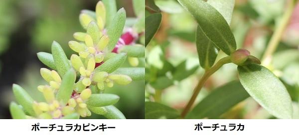 ポーチュカラピンキーとポーチュラカの葉、比較写真