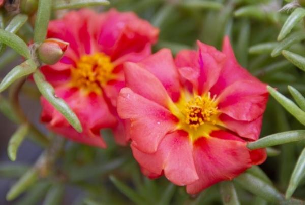 赤い松葉牡丹の写真