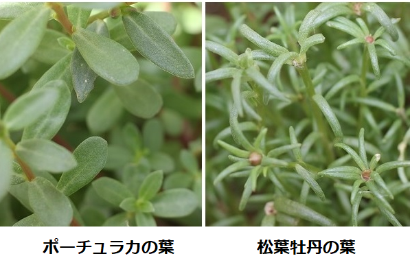ポーチュカラの葉と松葉牡丹の葉の比較の写真