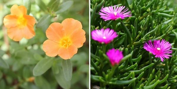オレンジのポーチュラカとピンクのポーチュラカの写真