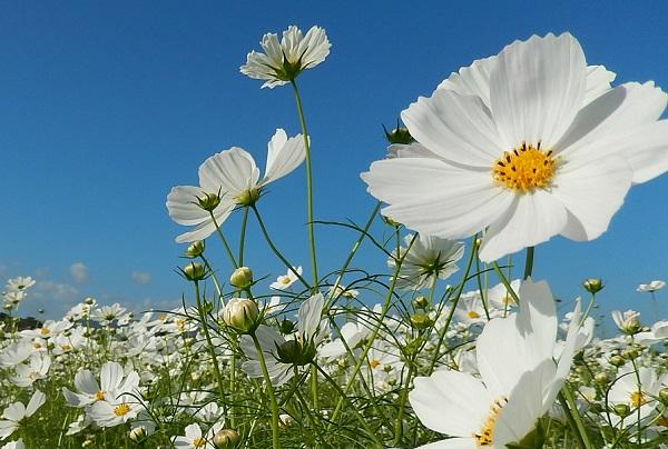 三光コスモス園、青空と真っ白の美しいコスモスの写真