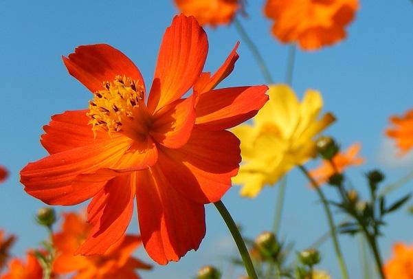 三光コスモス園、オレンジ色のキバナコスモスのアップ写真