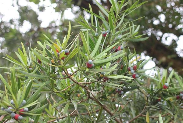 イヌマキの木に実が実ってる写真