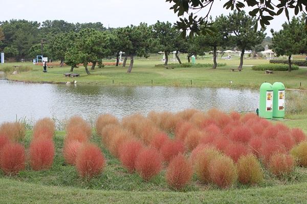 海の中道海浜公園、入り口近くの池の側にある色づくコキアの写真