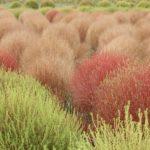 公園のコキア園、秋のコキアの様子、緑、赤、茶色のコキアの写真