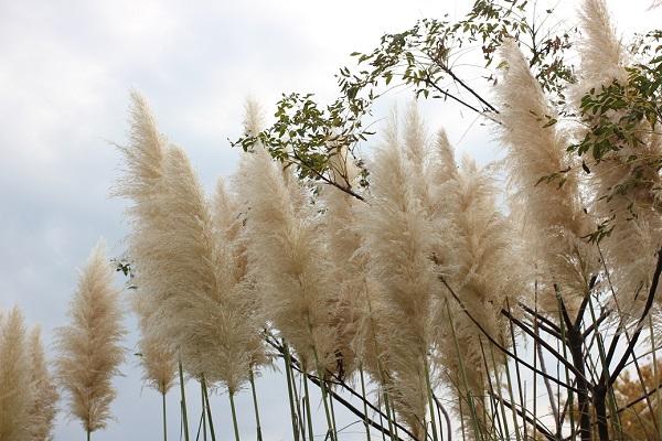 海の中道海浜公園、風になびくパンパスグラスと空の写真