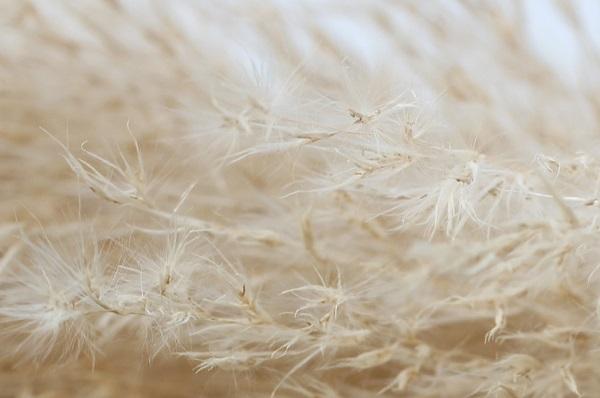パンパスグラスのアップ写真、綿毛の様子